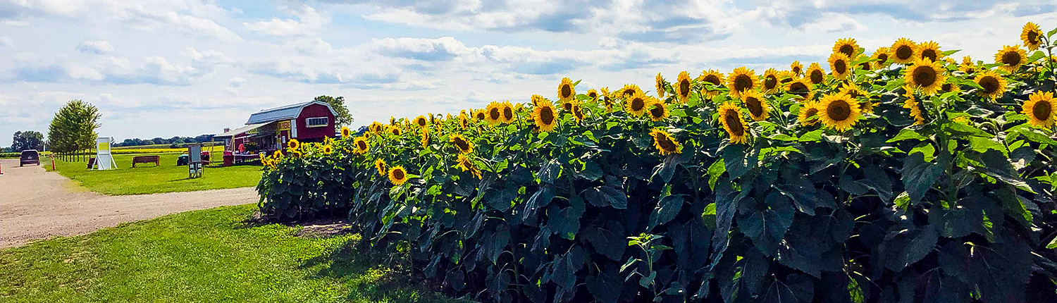 Sunflowers at Stades Farm